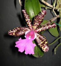 Cattleya aclandiae ('Svo' Hcc/Aos x 'Michael Ii' Am/Aos) species Orchid Plant