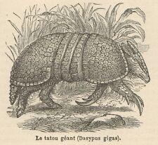 C8283 Dasypus gigas - Stampa antica - 1892 Engraving