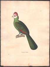 Nicolas Huet. Oiseau Touracou Pauline. Eau-forte. 1838