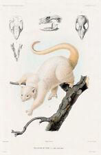 Possum by Louis LE Breton BrunVoyage au Pole Sud et dans l'Oceanie Art Print