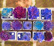 Rare Beauty Succulent Seeds Easy To Grow Potted Flower seeds 200pcs