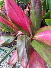 Ti hawaiian red Cordyline fruticosa live plant with leaves approx. 2 feet tall