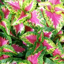 Watermelon Coleus Seeds Perennial Flower Bush Blue Flowers Hummingbird Usa Sales