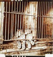 Tigres Zoo Arancio Algeria Foto Stereo PL59L1n56 Placca Da Lente Vintage c1910