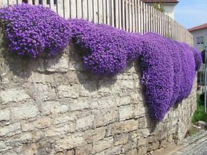 Creeping Thyme Herb 50 Seeds Purple White Pink Rainbow Colour Garden Flower UK