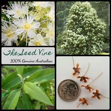 20+ LEMON MYRTLE SEEDS (Backhousia citriodora) Essential Oil Native Scented Tree