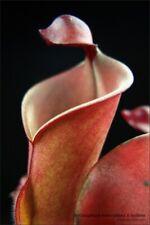 Heliamphora x [heterodoxa x nutans] - adult division