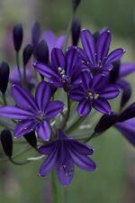 3 New Agapanthus Royal Velvet hardy  garden perennial 3 plants