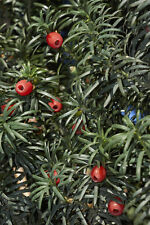 Taxus baccata (English/Common Yew) - Versatile Native Conifer - 30 seeds