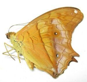 A002 PA : Butterflies: Vindula dejone dejone 46mm***************