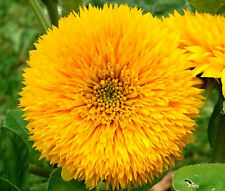 SUNFLOWER TEDDY BEAR Helianthus Annuus - 100 Bulk Seeds