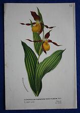Genuine viejo botánico impresión Cypripedium pubescens parviflorum van Houtte c.1860