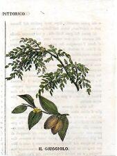 Stampa antica frutta GIUGGIOLO Dattero cinese botanica 1839 Old print fruits