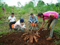 10 Seeds Of Cassava Seeds Manihot Esculenta Tree