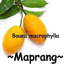 ~MAPRANG~ Bouea Macrophylla MANGO Fruit Tree MARIAN PLUM Live sml potd Plant