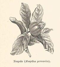 B2881 Nespolo - Mespilus germanica - Xilografia d'epoca - 1928 old engraving