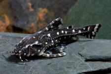 Agamyxis albomaculatus «Río Orinoco» (Spotted Dora Catfish)
