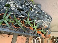 aloe vera plants varying sizes, rooted, choose your own. plant cuttings