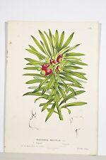 Podocarpus néréiifolia conifère litho XIX° Van HOUTTE Botanique