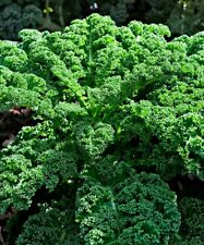 Kale 100 PCS Vegetable Home Garden Bonsai Plants Exotic Planting Seeds Green