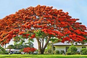 "Red Delonix Regia~Flamboyant~Royal Poinciana Live Plant Flamboyan 5 to 7"" tall"