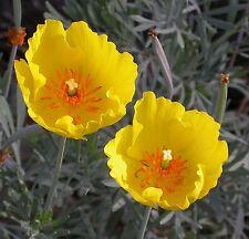 15 graines d'Hunnemannia Fumariifolia PAVOT MEXICAIN SEEDS SAMEN SEMILLA SEMI