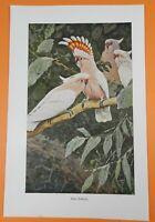 Inka-Kakadu Cacatua leadbeateri  Kakadu Farbdruck 1911 Wilhelm Kuhnert