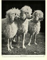 1930s Antique Poodle Dog Print Phidgity Kennels Poodles Photograph Print 3934h