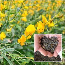 Crotalaria juncea 200 Seeds, Sunn hemp, Brown hemp, Indian hemp, Madras hemp