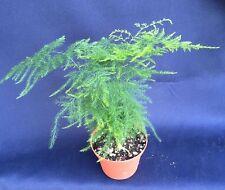 """PLUMOSUS FERN  (ASPARAGUS SETACEUS) Florist Fern, Live Plant Shipped in 3"""" Pot"""