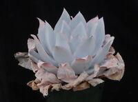 Echeveria cante 10 seeds Rare Cactus Succulent Garden Plant Gift Flower
