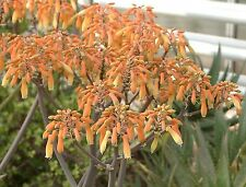 Aloe striata HARDY ALOE Exotic SEEDS!