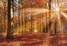 wall Mural Photo Wallpaper 368x254cm giant Golden Dawn Forest scene feature wall