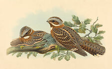 John Gould Reproductions: Red-necked Nightjar - Fine Art Print