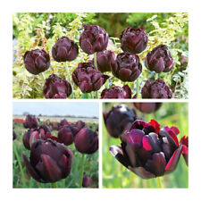 Lot 69 Black Hero Tulip x 25 Flower Bulbs Stunning Double Spring Tulips.Bargain