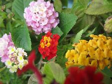 Lantana  Mix Seeds Orange Red Pink White Yellow Hummingbird - Butterfly Flower