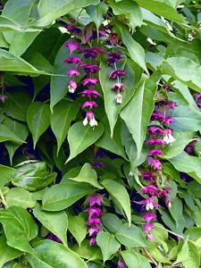 Himalayan Honeysuckle / Leycesteria formosa in 2L Pot, Red-Purple Bracts