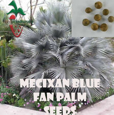 25 Mexican Blue Fan seeds, ( Brahea armata ) from Hand Picked Nursery
