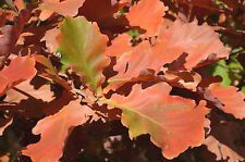 2x Japonés EMPERADOR Robles, Quercus Dentata, otoño, llamativo, resistente,