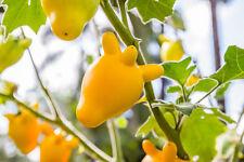 Exot Pflanzen Samen exotische Saatgut Zimmerpflanze Zimmerblume KUHEUTERPFLANZE