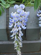 Blue Moon Wisteria, Wisteria macrostachya 'Blue Moon', Three Gallon Container