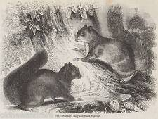 Antique 1845 Print Grey Black Squirrel Forest Tree Rodent English European Wood