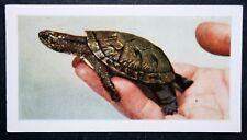 Pond Terrapin    Turtle      Vintage Colour Photo Card
