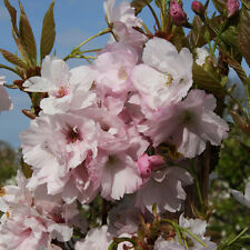 Prunus Amanogawa Flagpole Cherry Tree 12 litre Pot 1.8 metres Tall British Grown