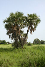 Hyphaene thebaica - Egyptian Doum Palm - Large Fresh Seeds