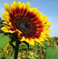 Original Package 15 Oil Sunflower Seeds Helianthus Annuus Linn Flowers A135
