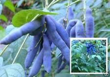 Blau-Gurken-Baum exotische Pflanzen Samen seltene Garten Sämerei Saatgut Rarität