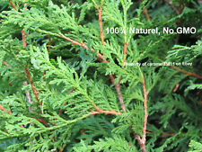 200 + seed - Northern - white - cedar -Thuya occidentalis - Cèdre  - hedge -