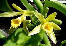 Vanilla Planifolia - 'Vanilla Orchid' - live Vanilla bean vine