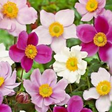 "ANEMONE JAPONICA ""ROSE BEAUTY"", JAPANESE ANEMONE 30 special seeds"
